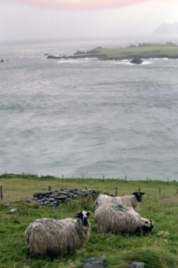 sheep on great blasket island