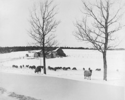 black and white pphoto of sheep on a farm