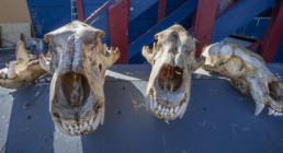 3 polar bear skulls