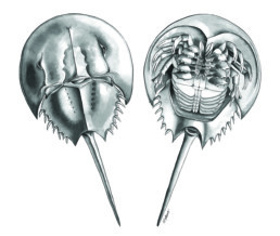 painting of a horseshoe crab from above and from below