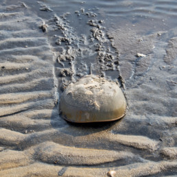 Prehistoric horseshoe crab walks out of the water and onto the sand beach leaving a trail